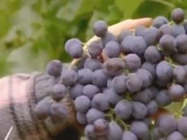 Agent-e viticole